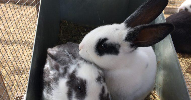 Rabbit: The New Chicken